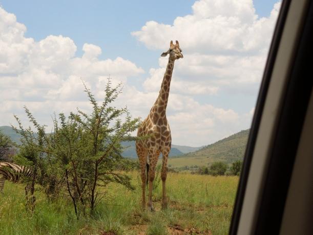 Pilanesberg - Giraffe